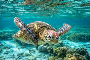 Front view of a green sea turtle swimming towards the camera as it glides underwater over the great barrier reef.