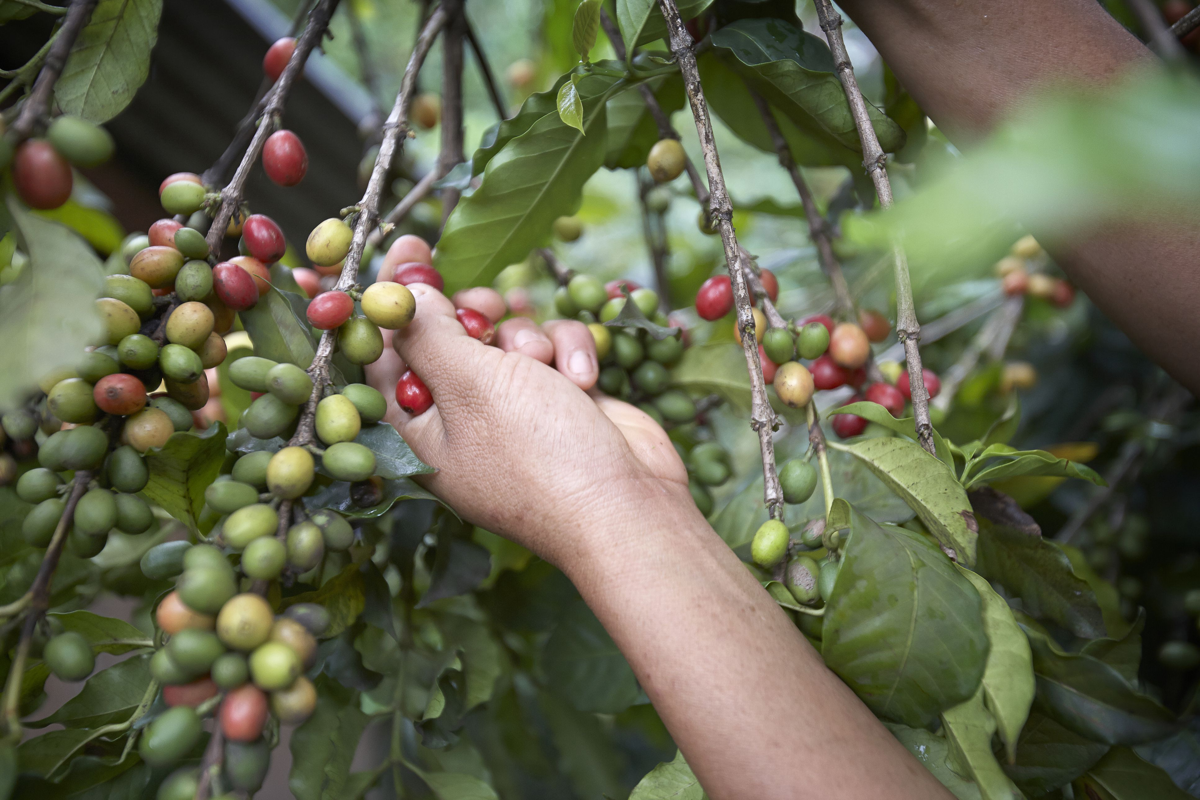 Picking coffee cherries in Mexico