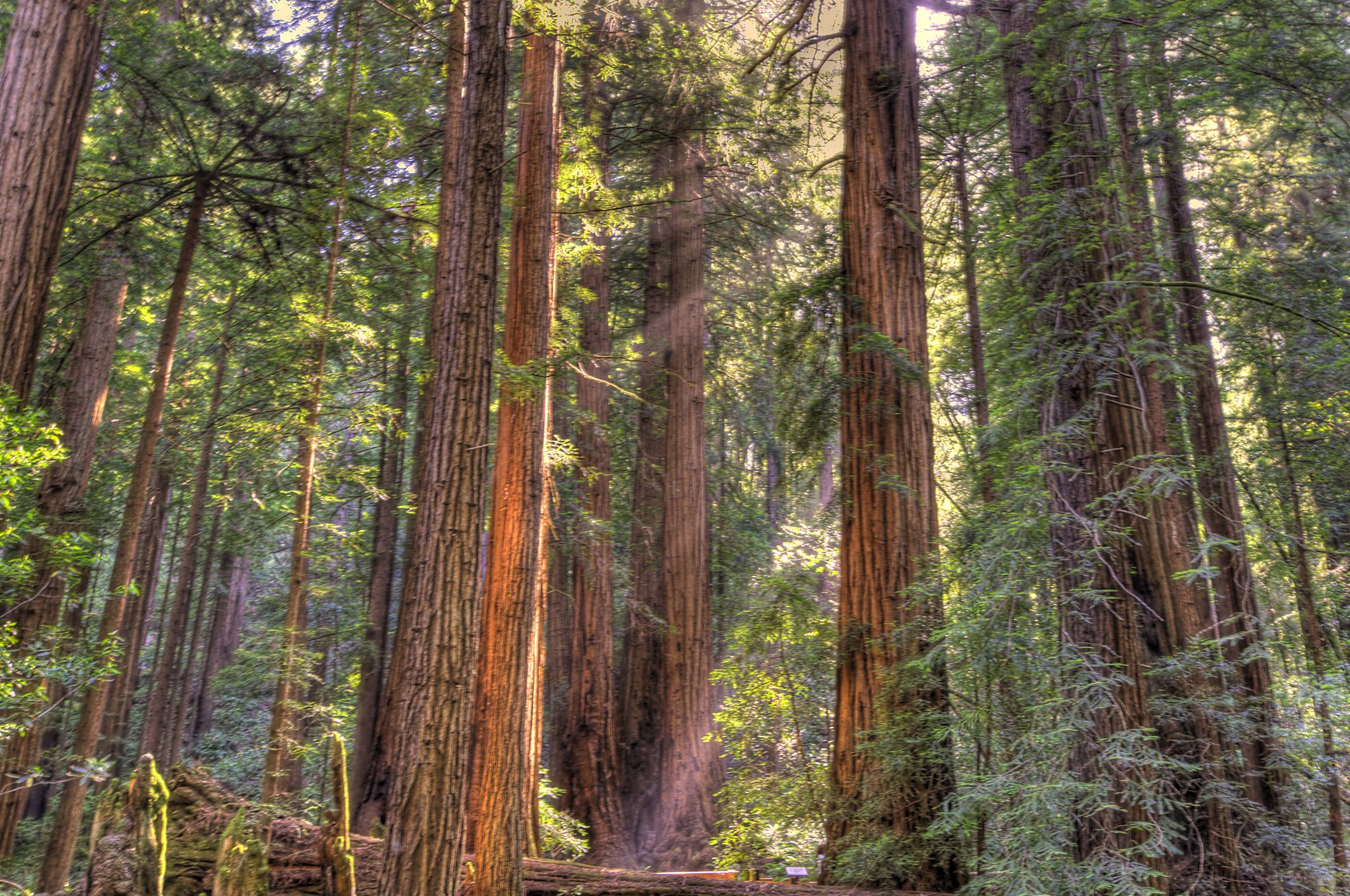 Giant redwoods in Muir Woods National Forest, California.