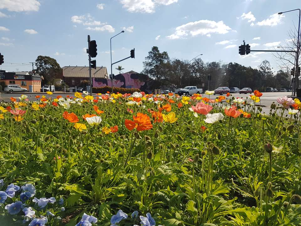 Poppies at Toowoomba Carnival of Flowers with mural in background