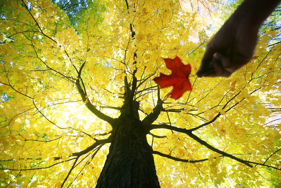 The Quebec fall foliage report details when and where fall leaves are peaking across Quebec.