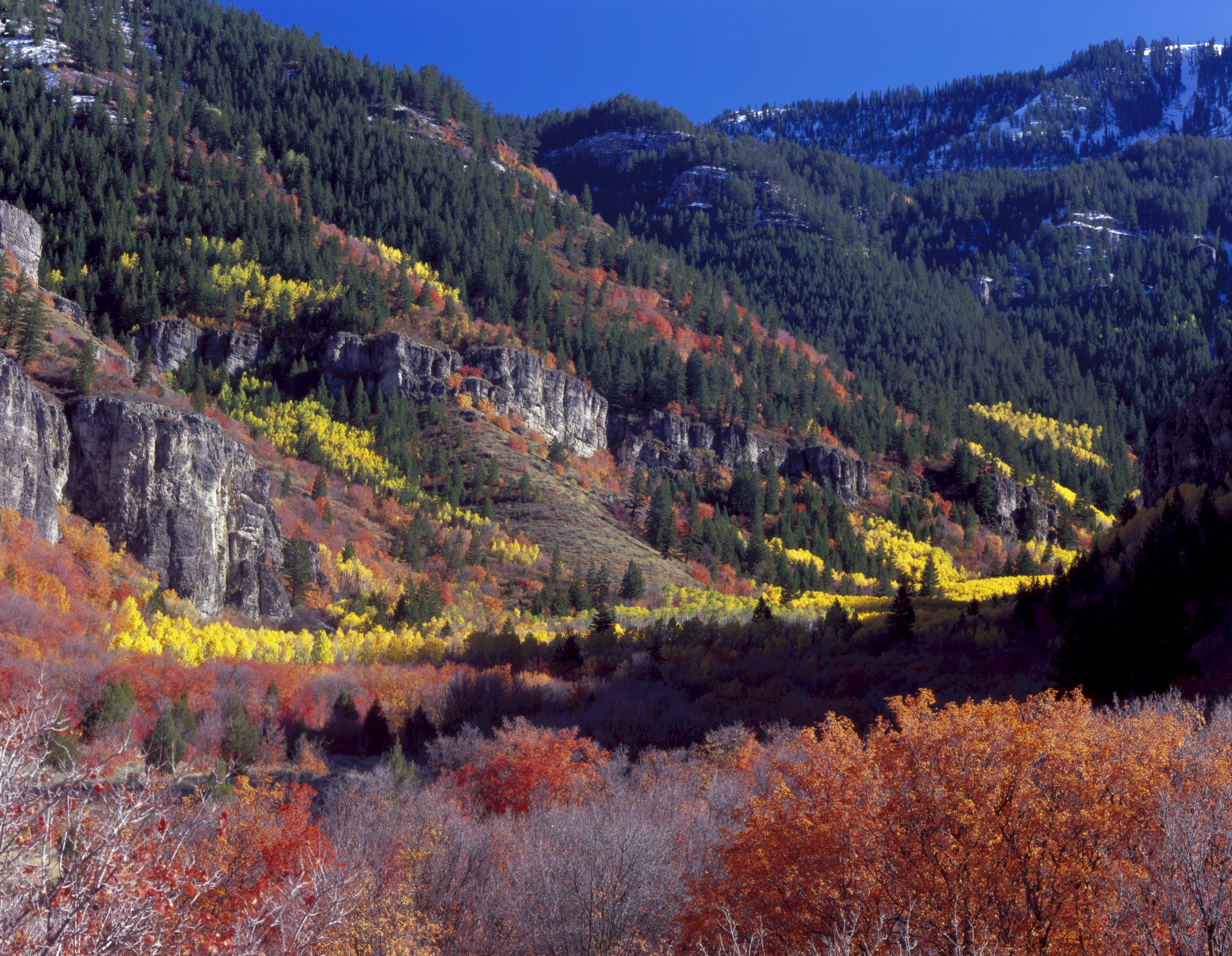 Maples, aspen, and conifers in autumn, Mill Hollow in Logan Canyon, Bear River Range, Wasatch Mountains, Uinta-Wasatch-Cache National Forest, Utah