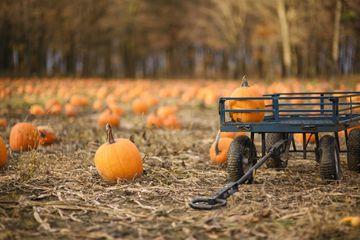 A wagon in a pumpkin field