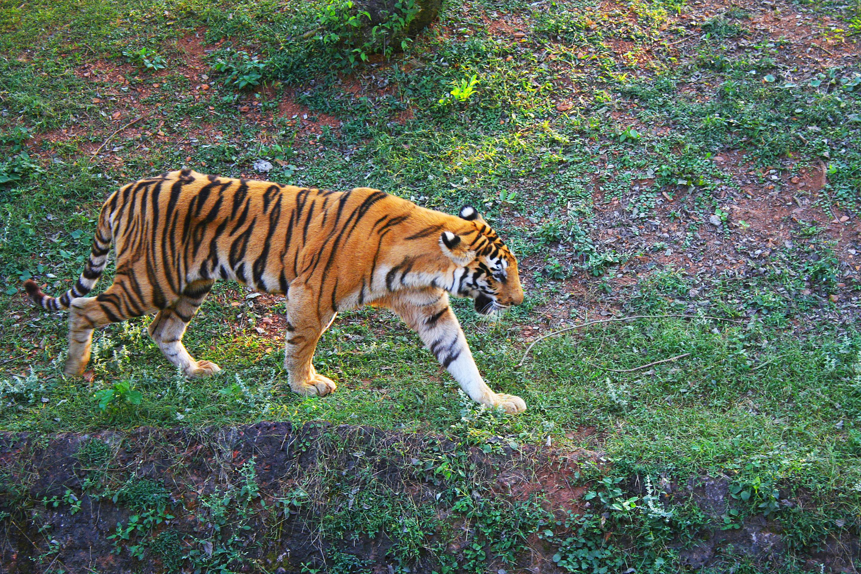The Royal Bengal Tigeress