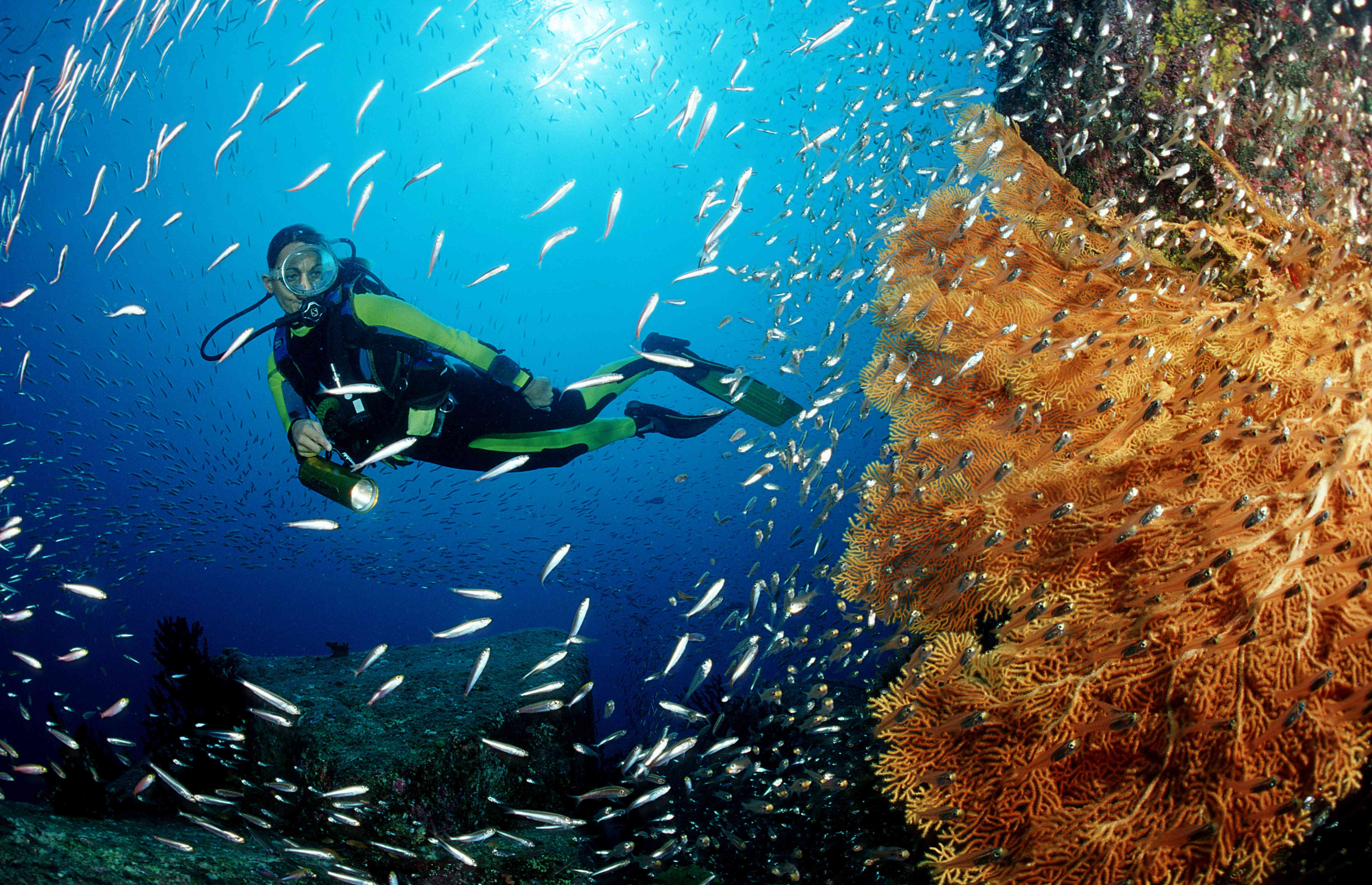 A scuba diver swims with fish and a sea fan
