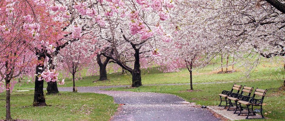 Cherry blossoms in Conyers, Georgia