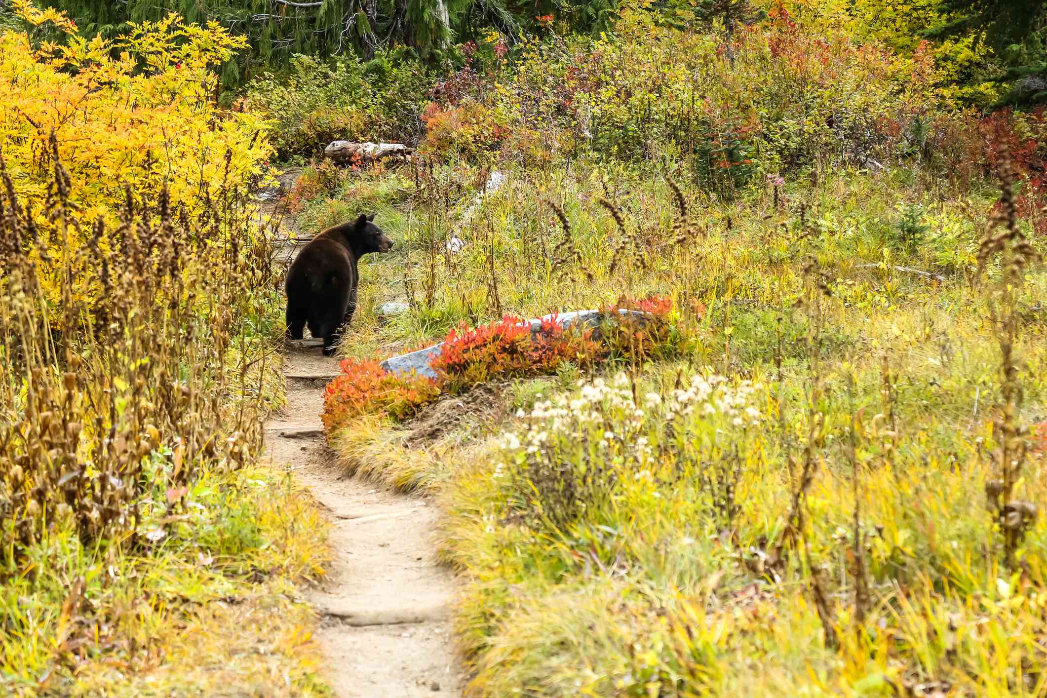 Mother Black bear looks for her cubs as she walks along the Wonderland Trail inside Mount Rainier National Park.