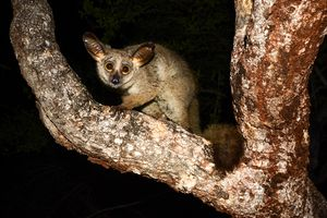 Nocturnal Animals to Look Out for on an African Safari