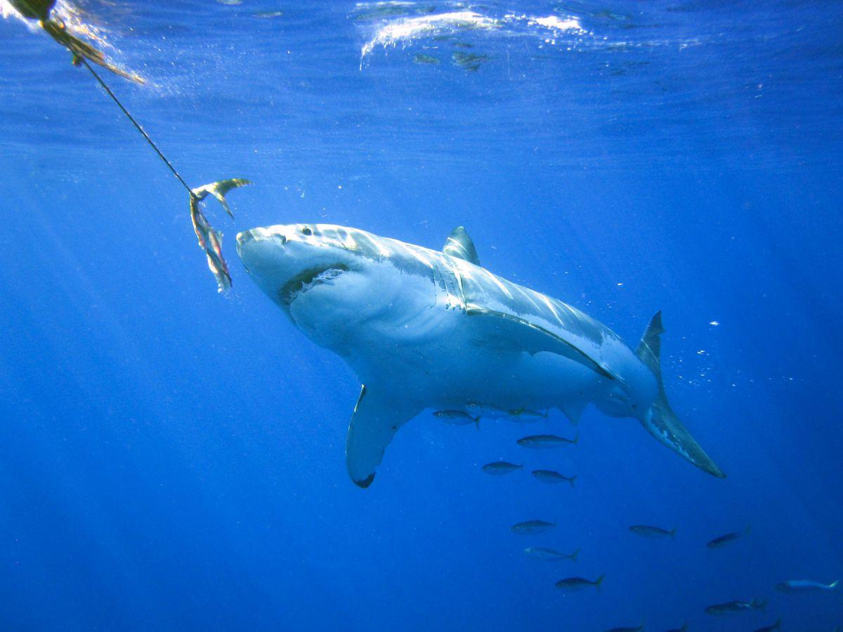 A shark swimming towards bait