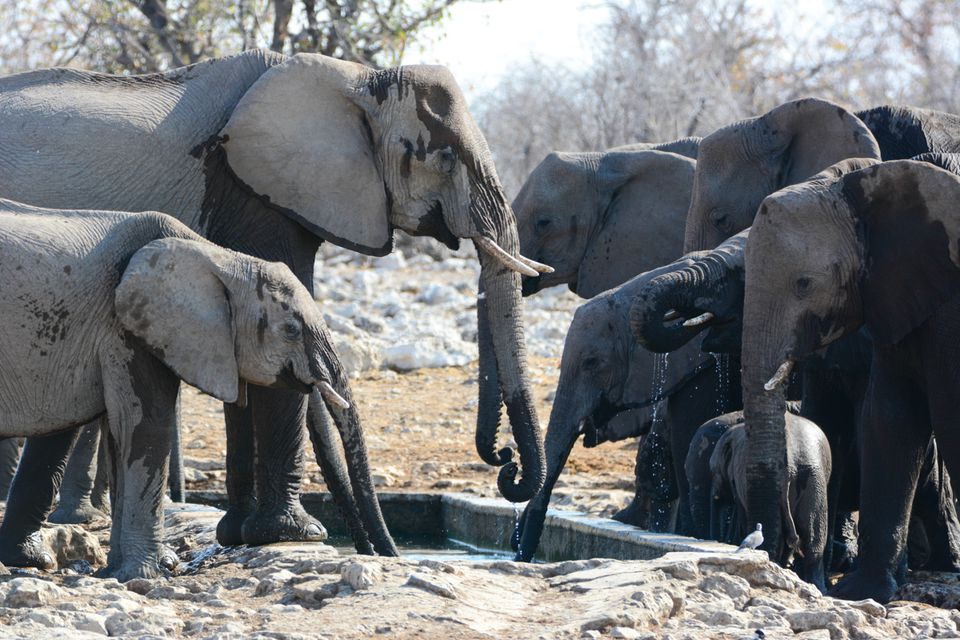 A heard of elephants drinking water