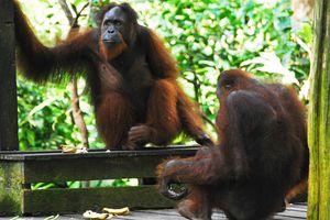 Two orangutans in Sepilok