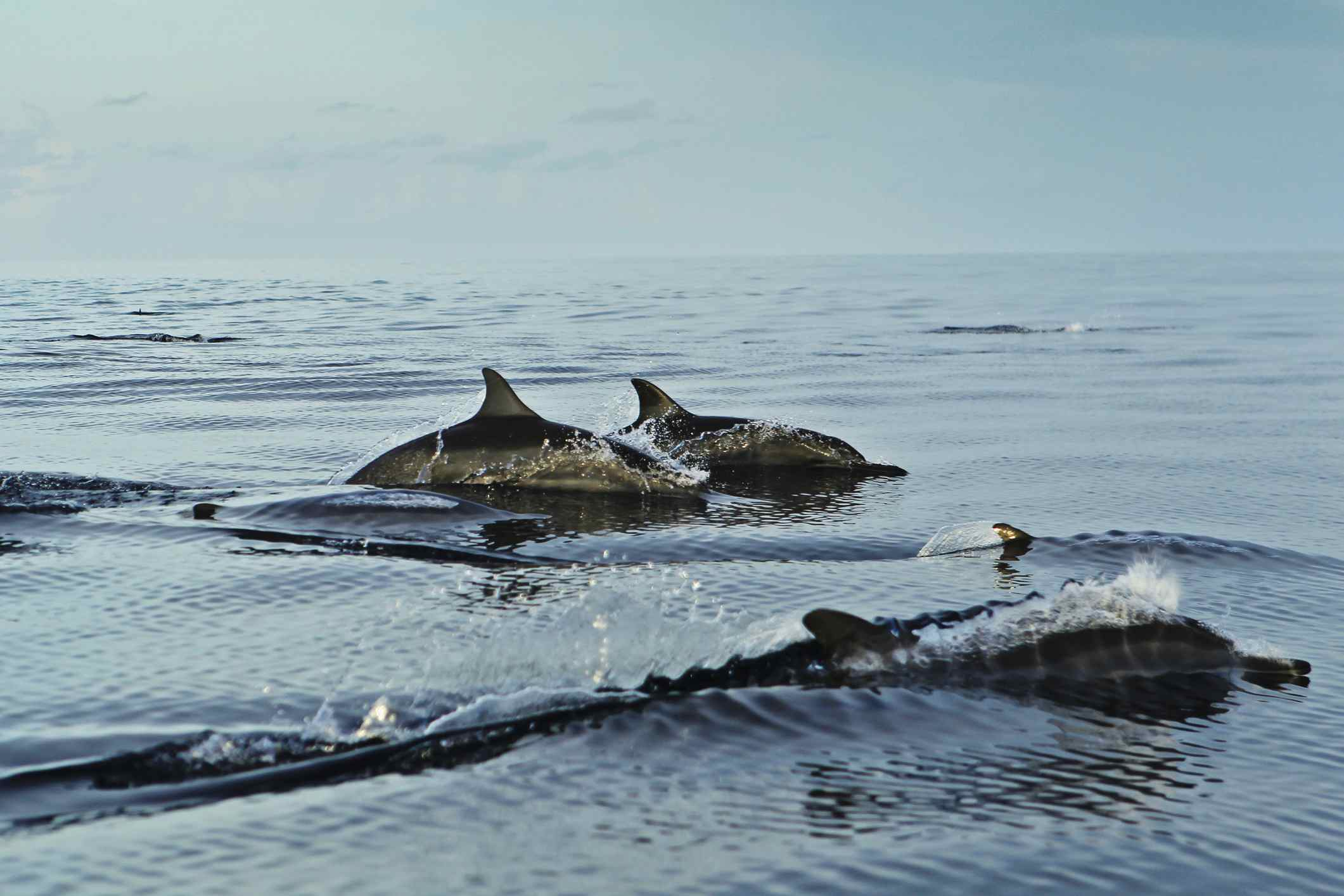 Spinner dolphins in the Maldives