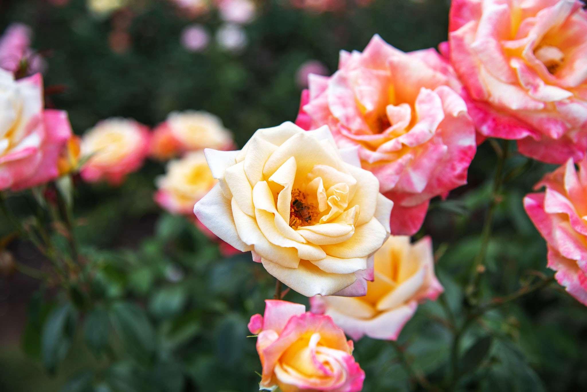 Una rosa amarilla entre rosas rosadas y anaranjadas