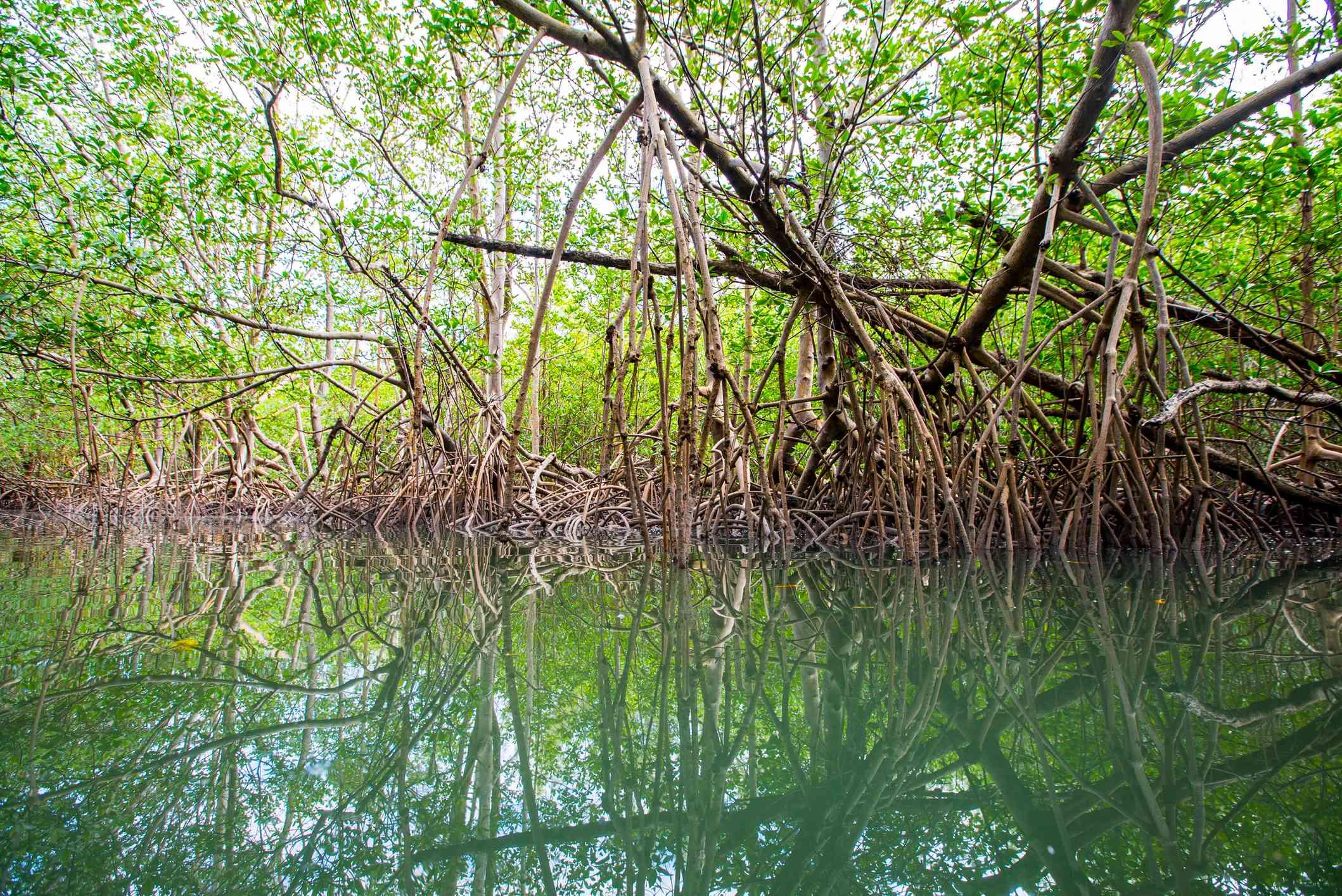 Mangroves at Oleta River State Park