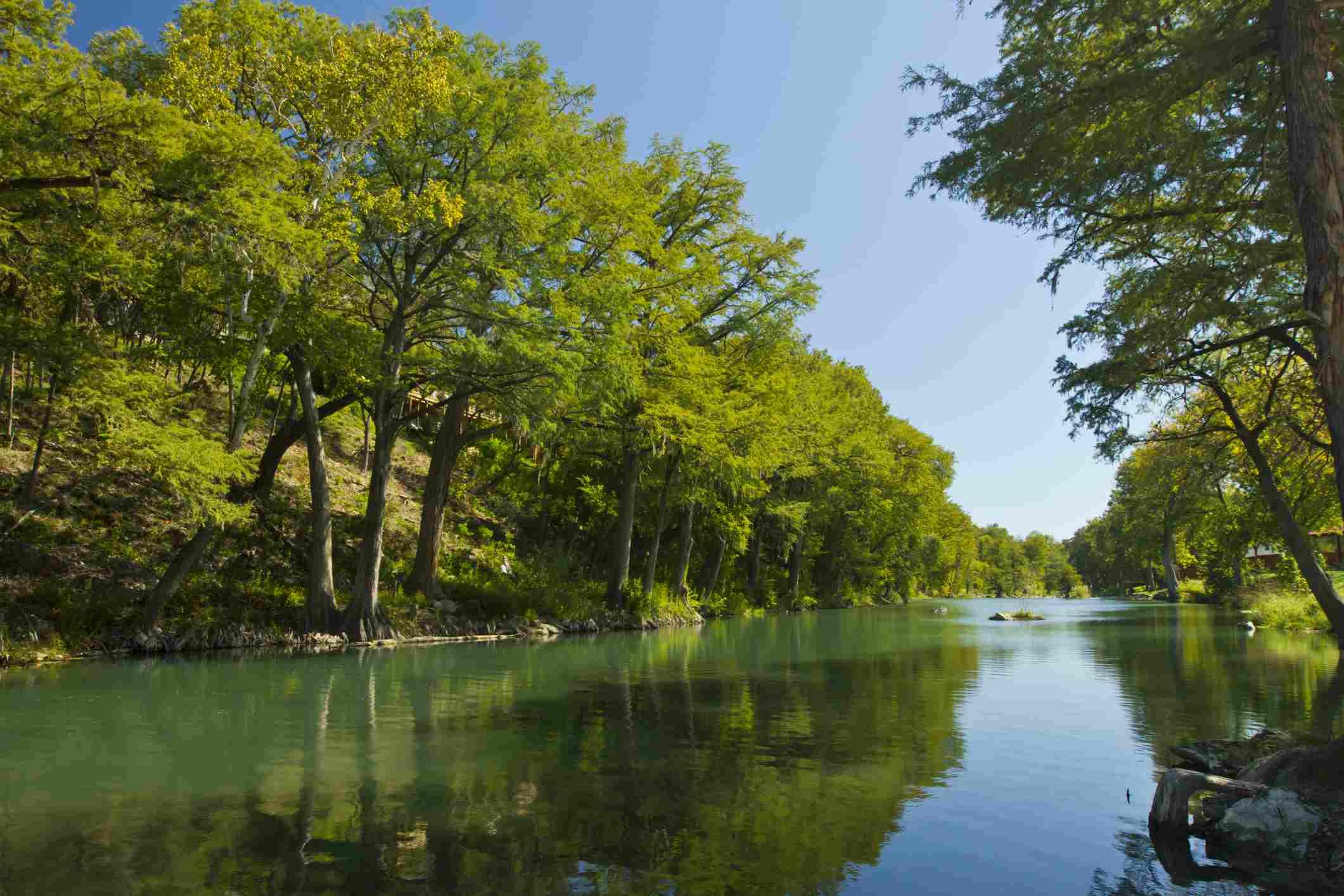 Bald cypress trees at Gruene, near New Braunfels, Guadalupe River, Texas, USA