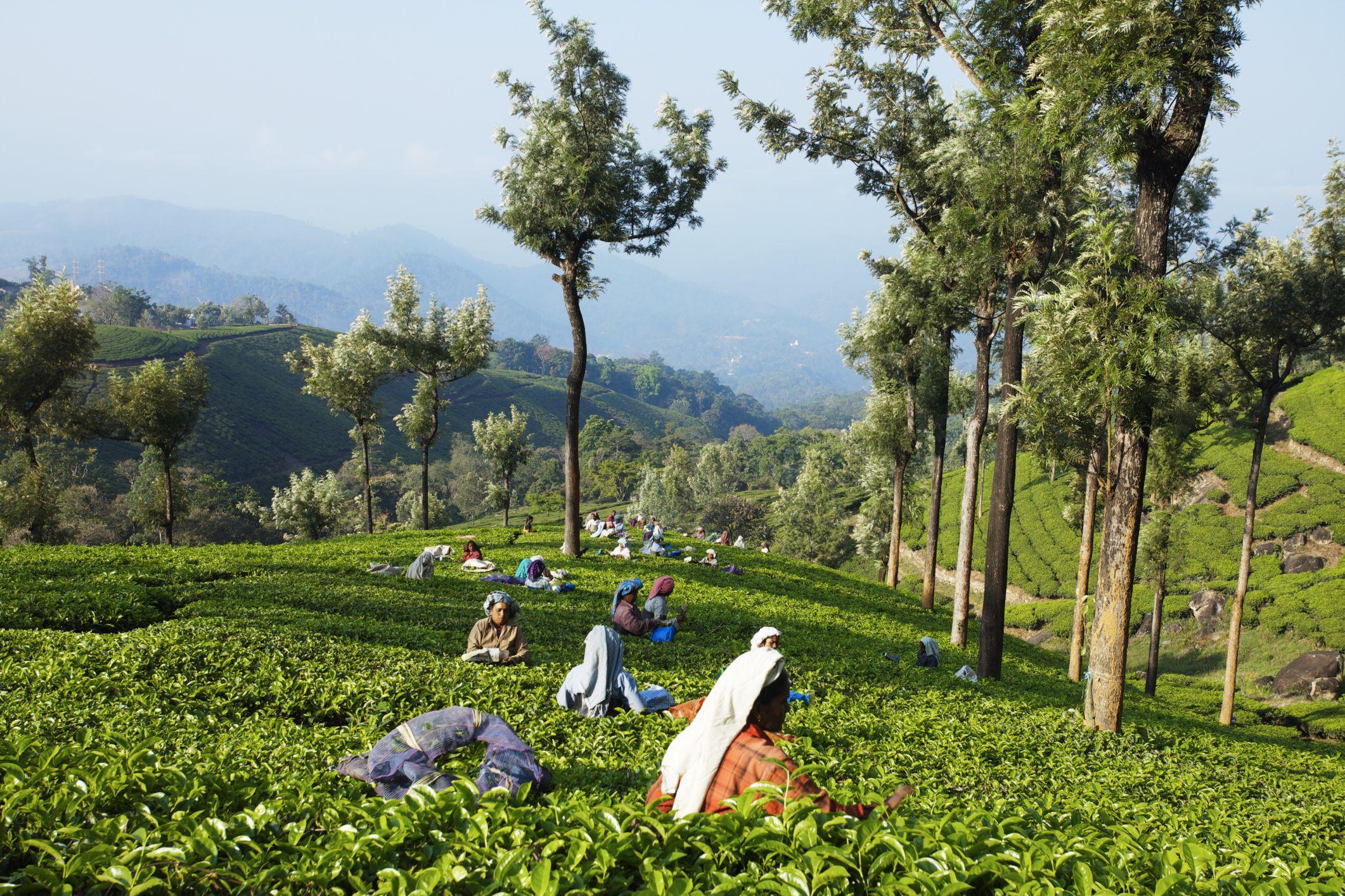 Tea plucking in Kerala