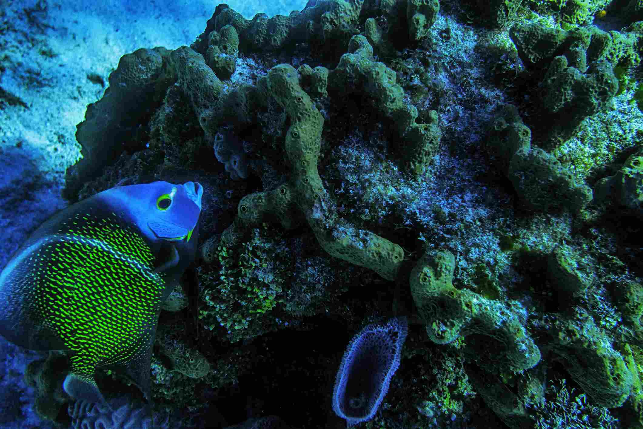 A French Angelfish swimming around a coral reef in the Caribbean, Tulum, Mexico's Mayan Riviera, Quintana Roo, Mexico