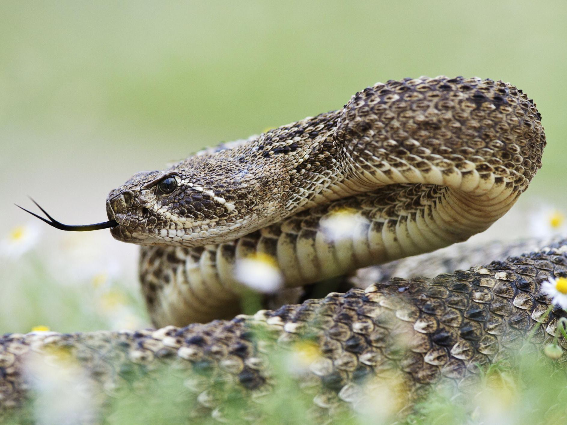 What To Do If A Rattlesnake Bites You