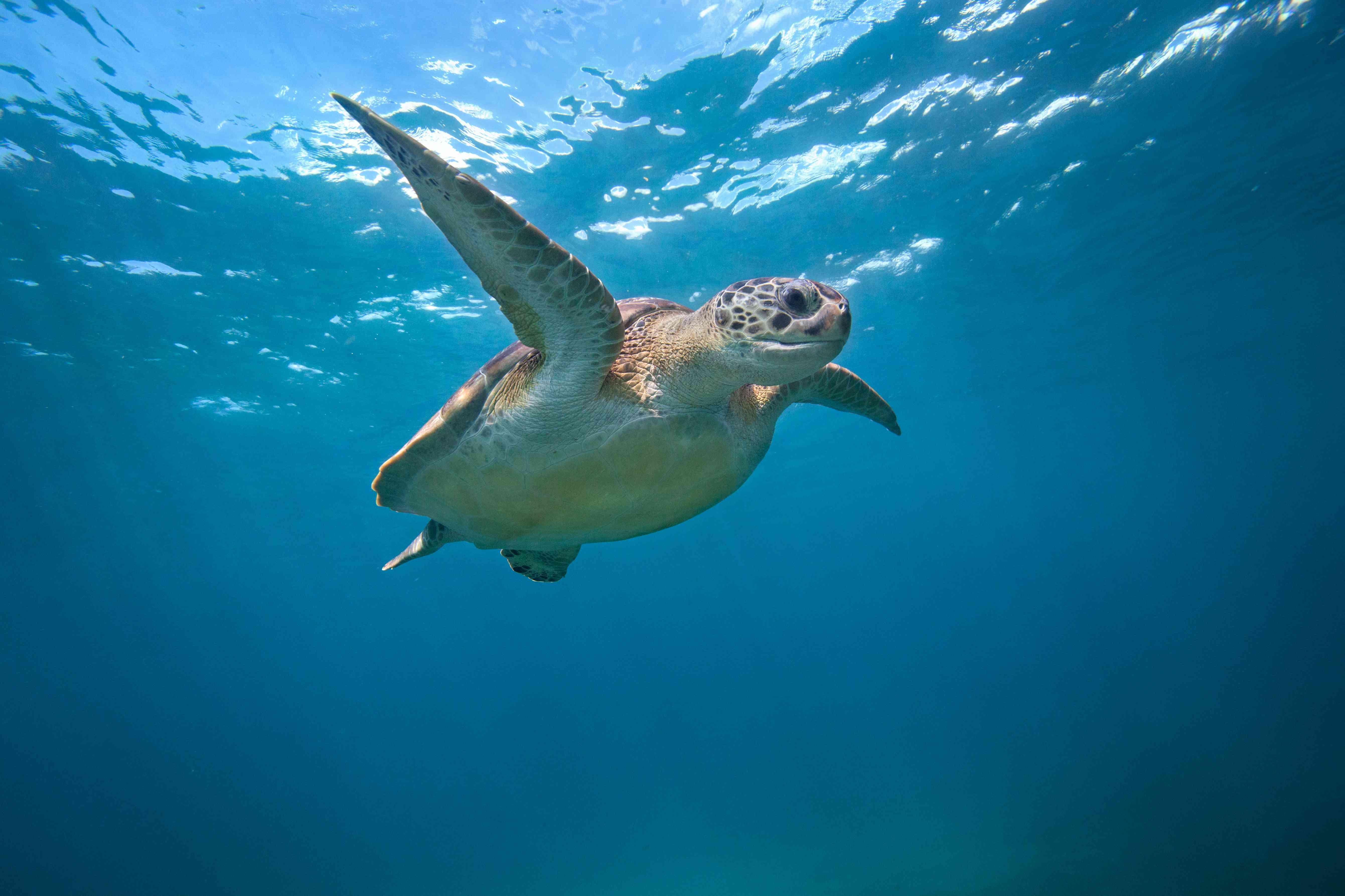 Green Sea Turtle swimming mid water