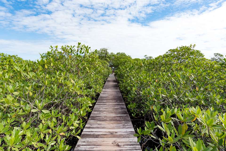 A wooden walkway cutting through bright green plants on both sides