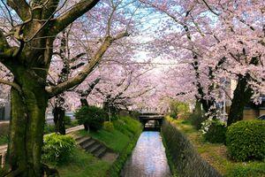 Sakura (Cherry Blossom) Trees Canal along Philosopher's Walk (哲学の道) in Kyoto (京都) Japan