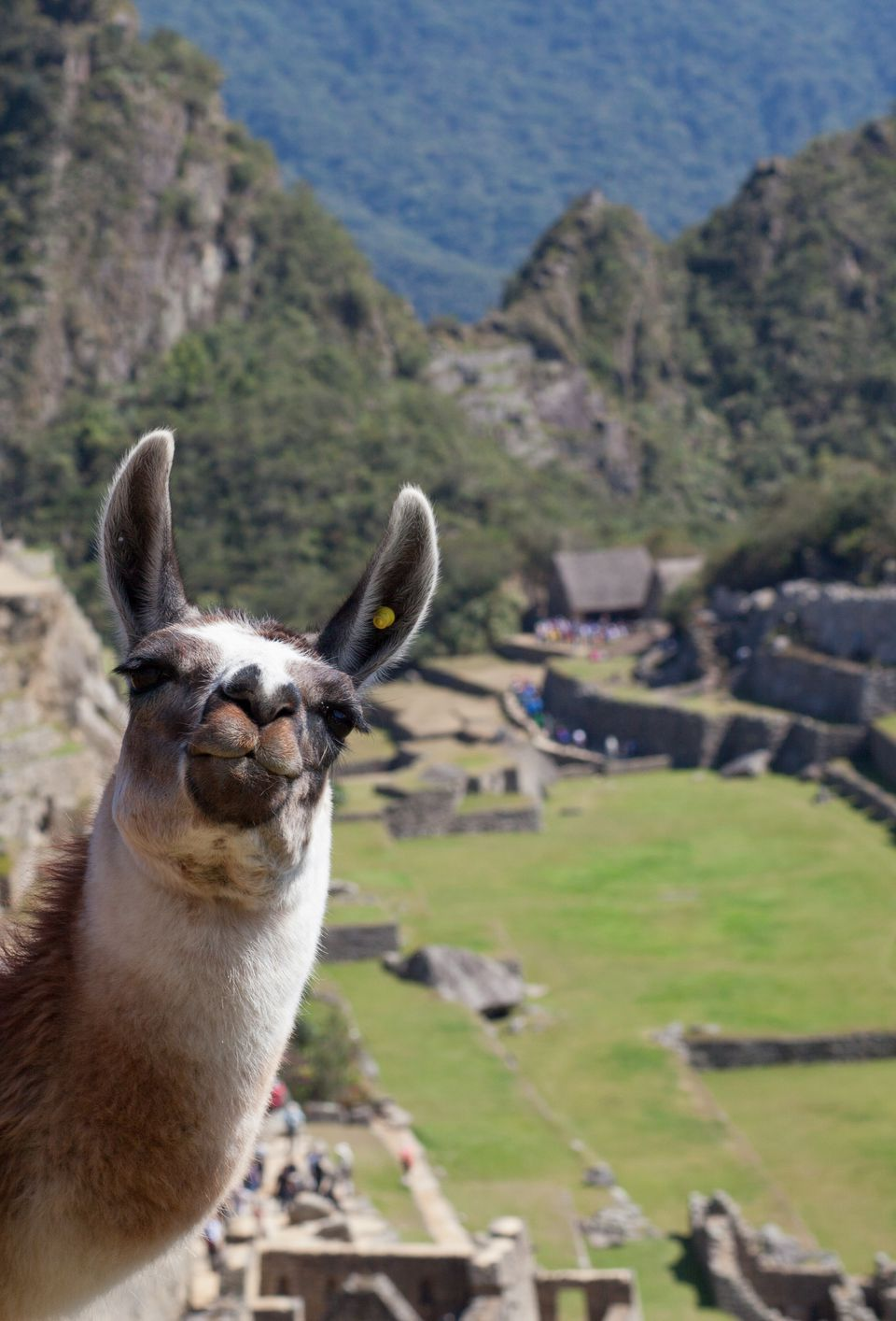 A friendly Llama on top of Machu Picchu poses for the cameras.