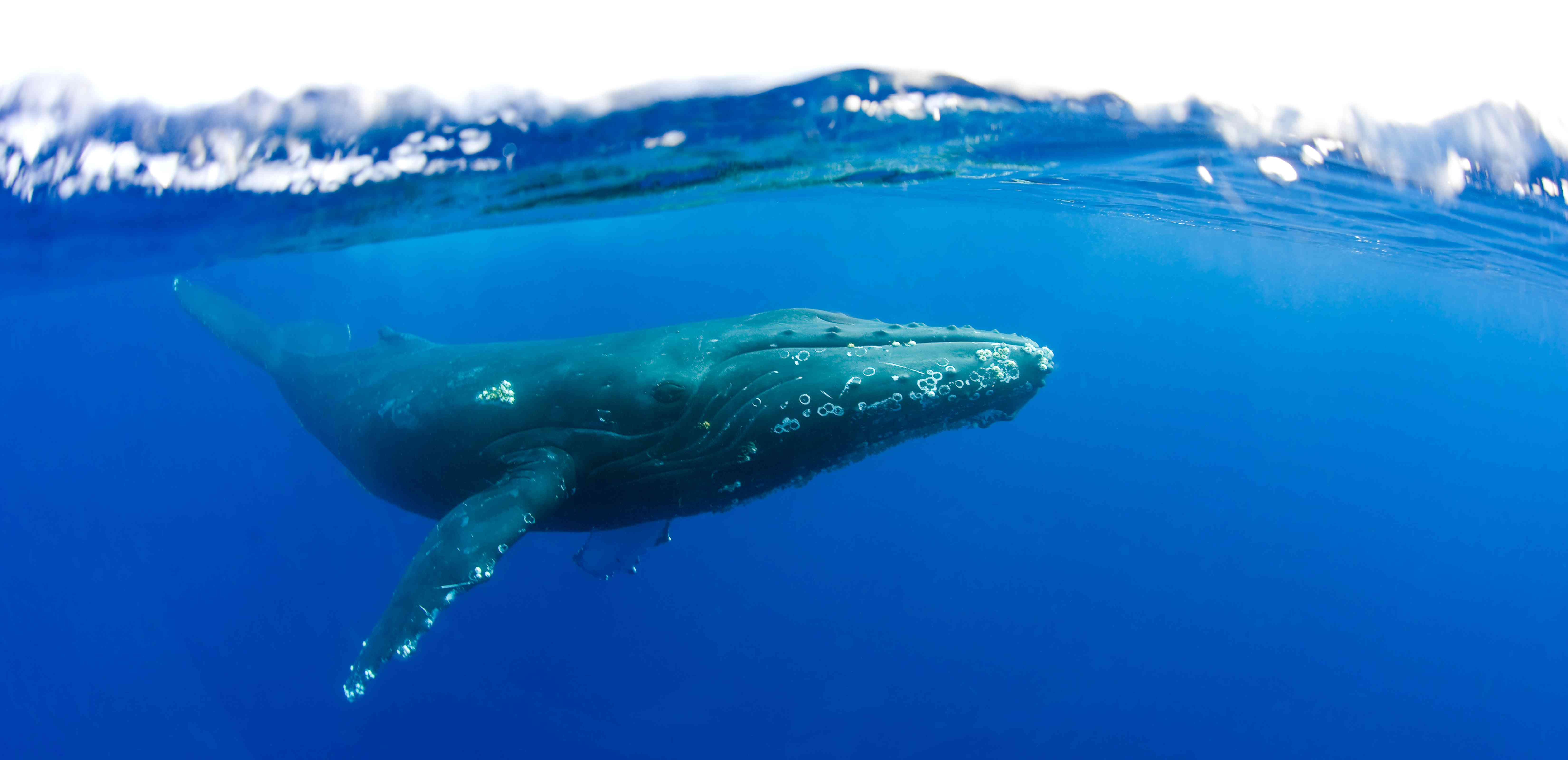 Humpback whale in Maui