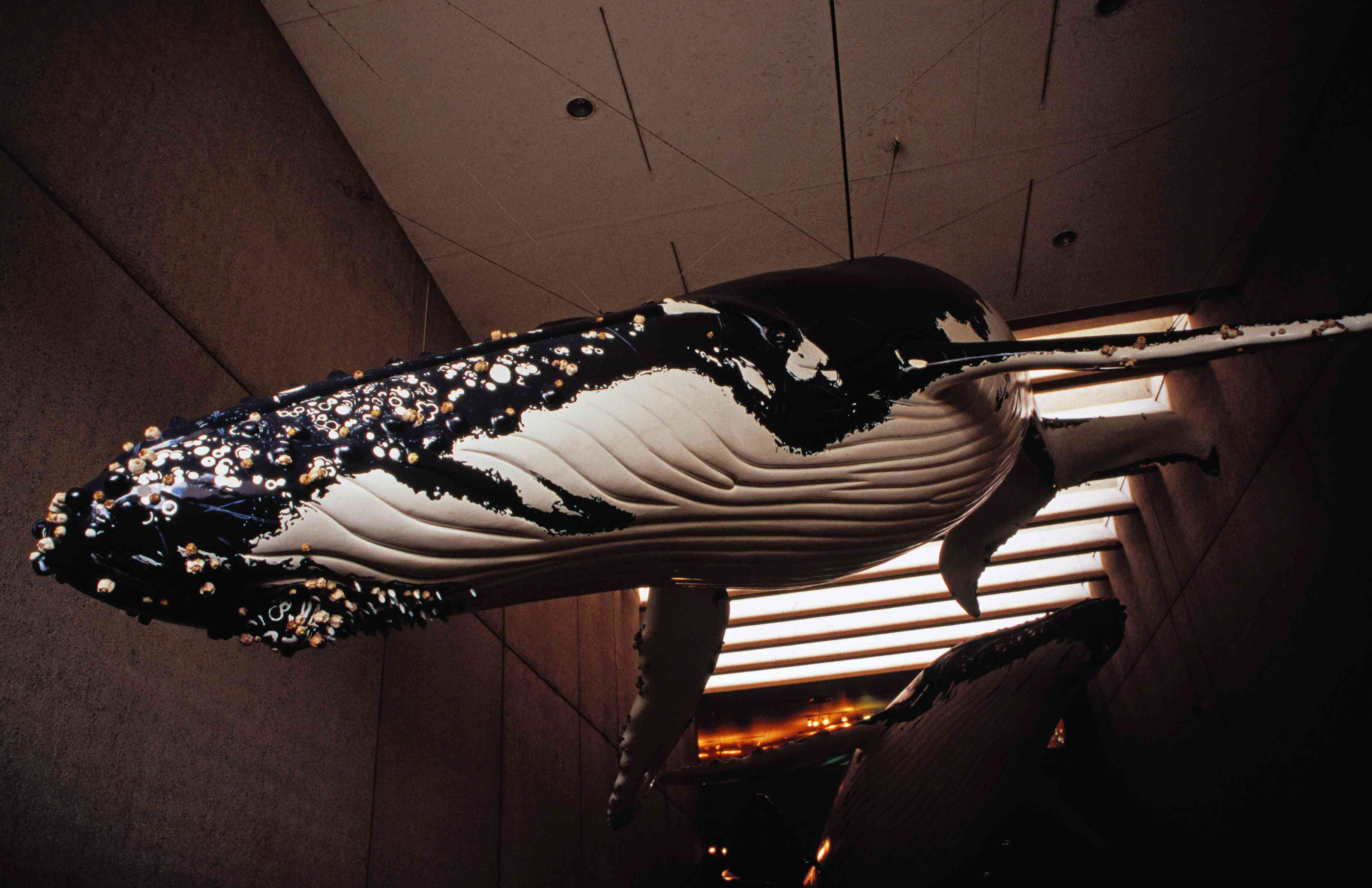 Large hanging whale display at entrance to Queensland Museum