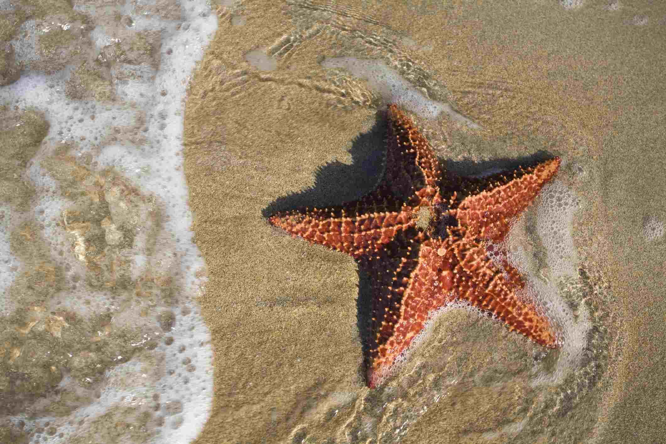 Colon Island (Isla Colon) Star Beach, Starfish