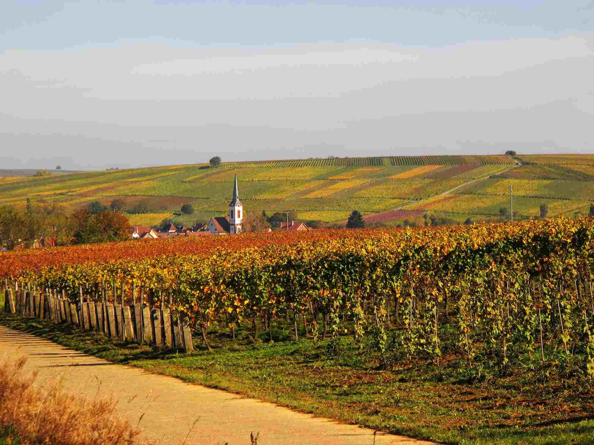 Campos de vino en otoño, Renania -Palatinate, Alemania