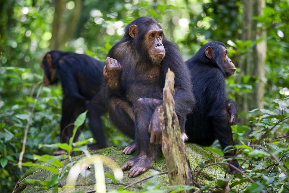 Three adult chimpanzees in Gombe National Park, Tanzania