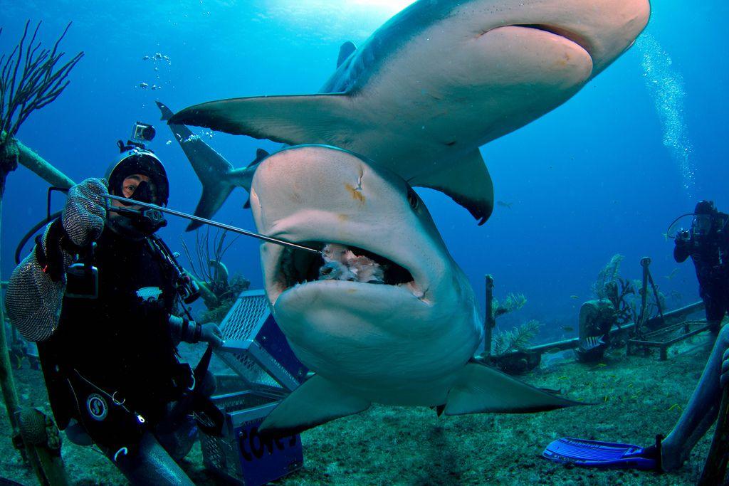 Shark dive at Stuart's Cove, Bahamas