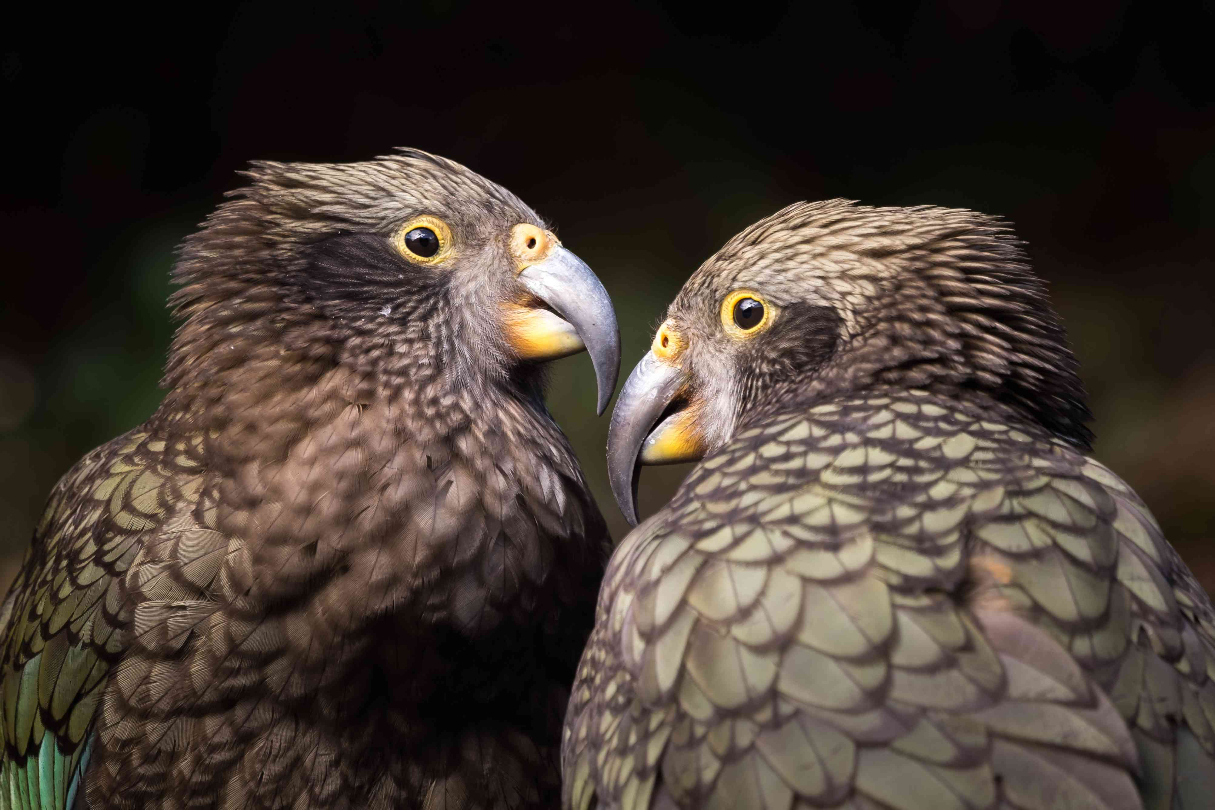 A male and female Kea look at each other at Arthur's Pass, New Zealand