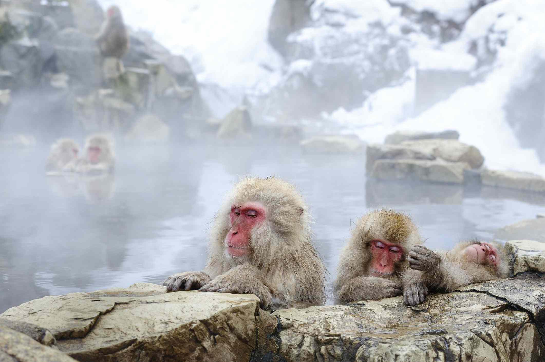 Snow monkeys onsen japan