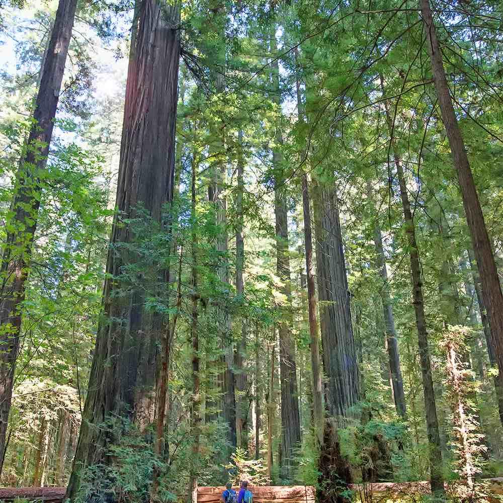 Walking in Founders Grove, Humboldt Redwoods