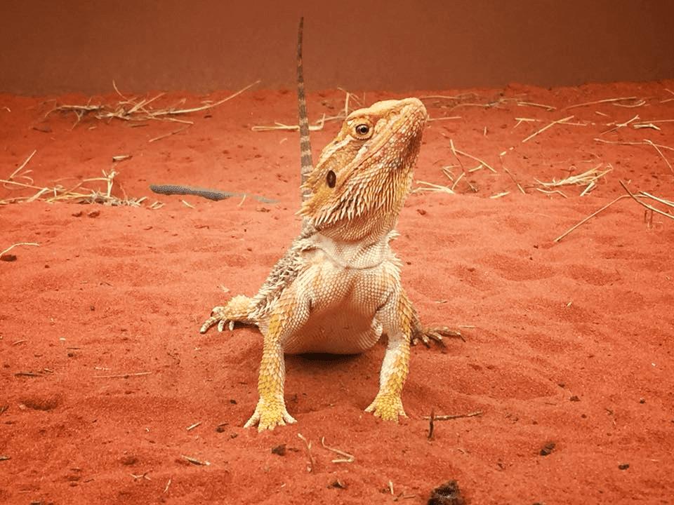 Bearded dragon lizard on red dirt
