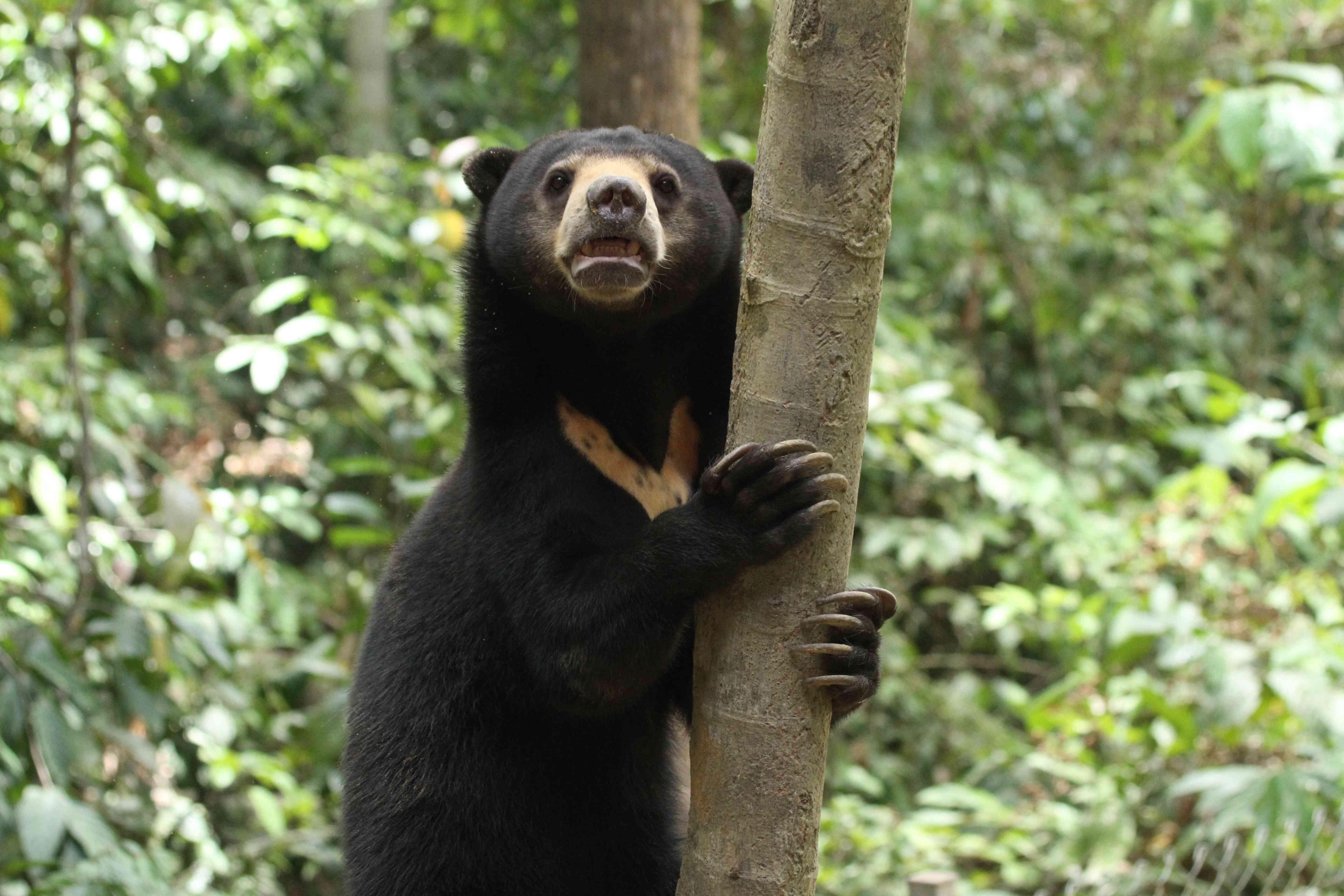A sun bear holds a tree in Sumatra