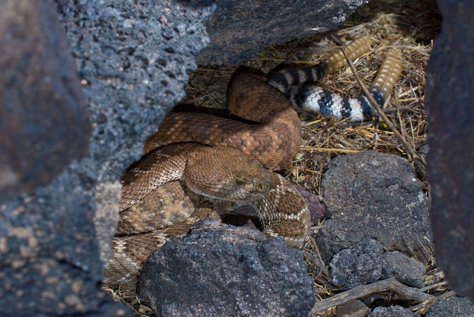 Western Diamondback Rattlesnakes Mating