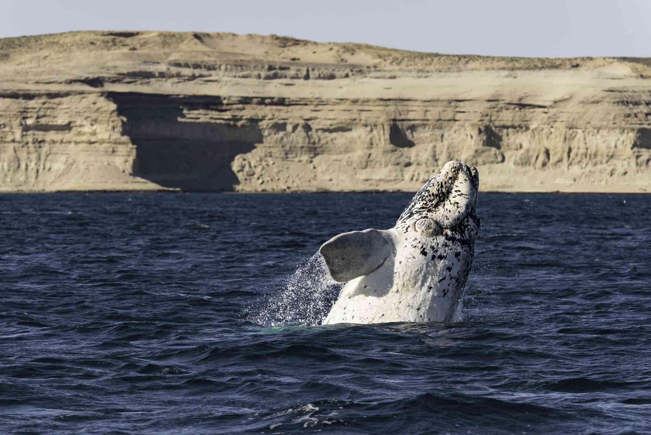 Ternero blanco de la ballena franca austral que viola en el Nuevo Golfo, Península Valdés, durante la temporada de parto y apareamiento de estas ballenas