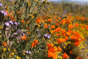 Poppies in Antelope Valley