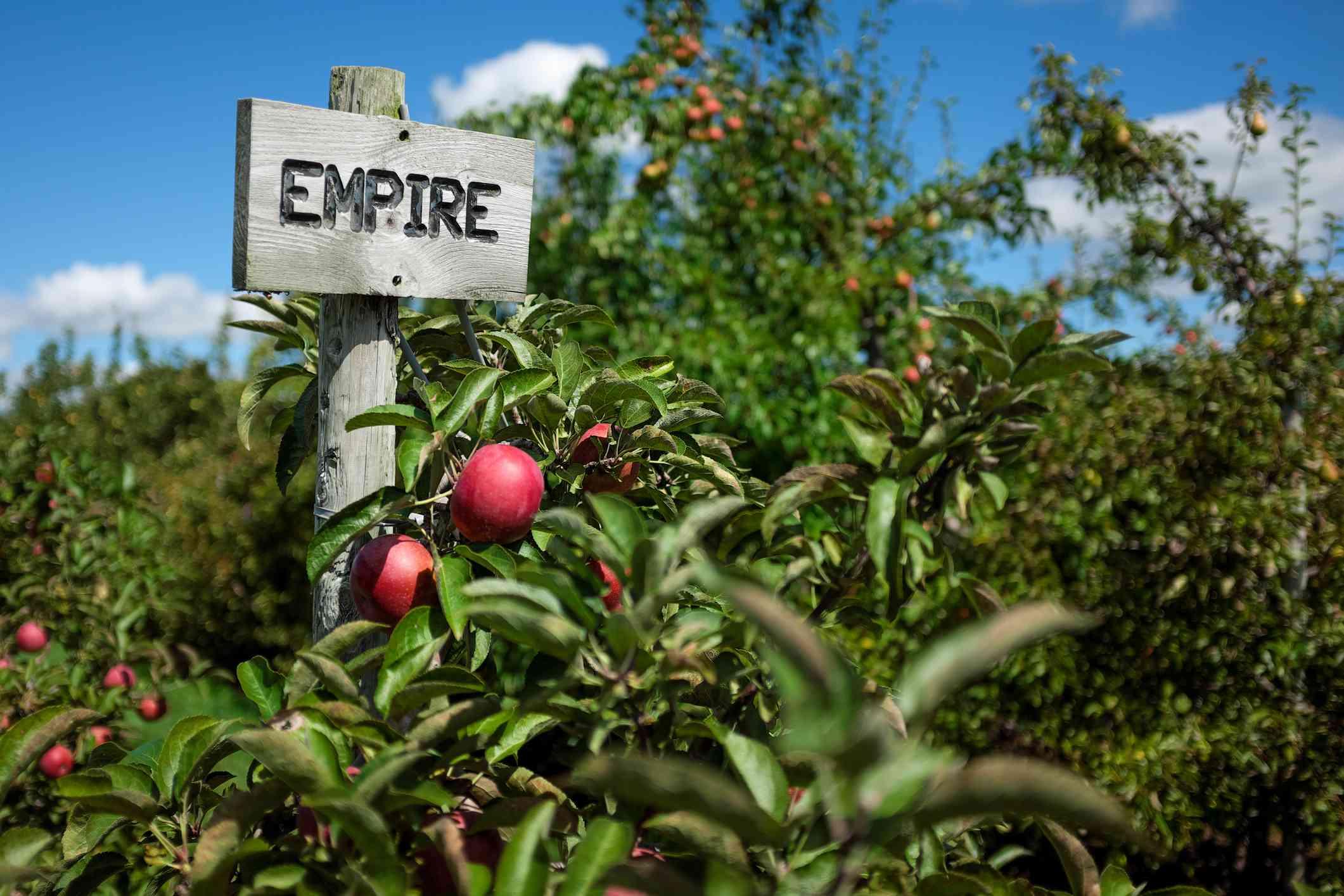 Apple orchard in Ontario