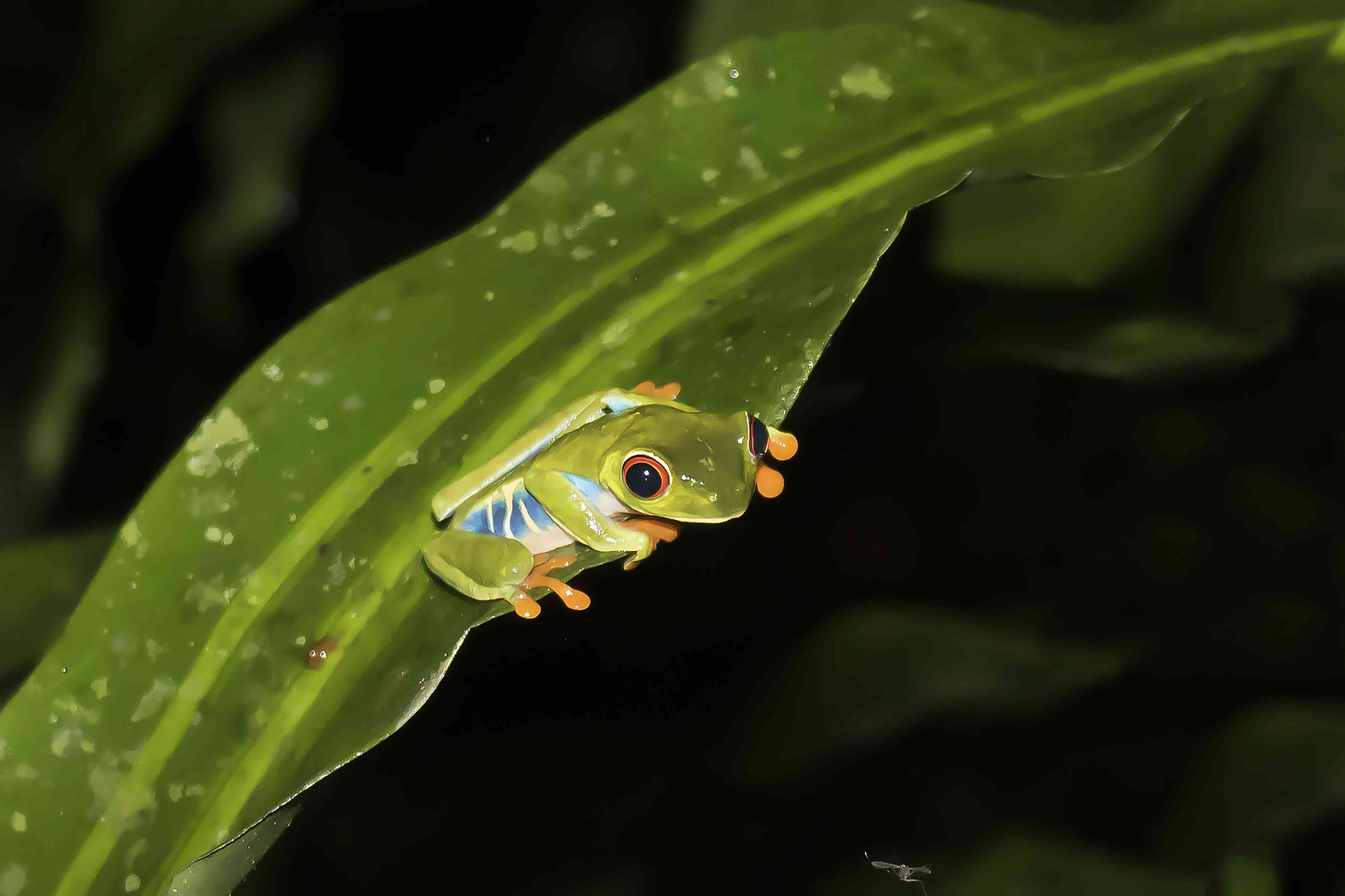Red Eyed Tree Frog Perched on Edge of Leaf Eyeing Mosquito with Black Nighttime Background