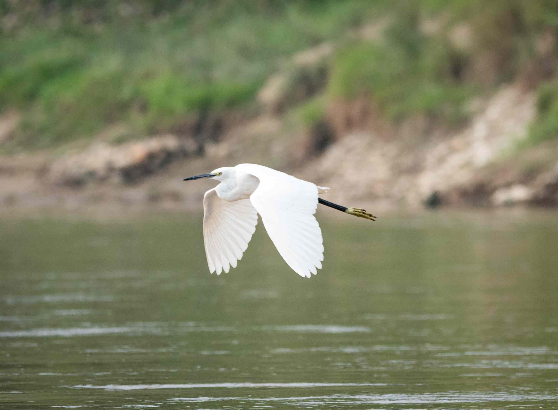 Egret flying over a lake