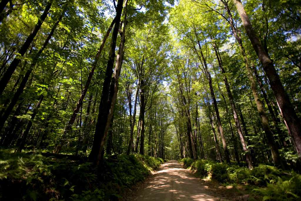 view of tall trees in a forest with a dirt trail going through the middle