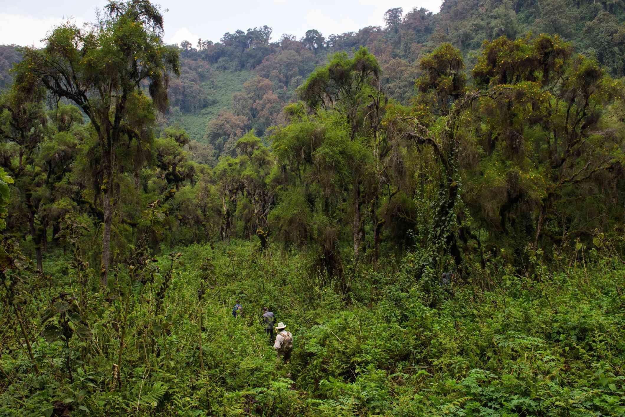 Trekking through the jungle, Rwanda