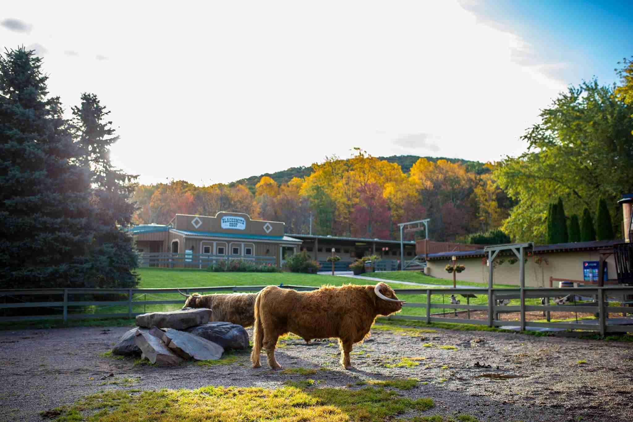 Scottish Higland cattle at Rocking Horse Ranch Resort