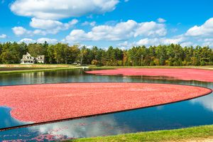 Home sitting next to a cranberry bog in carver, Massachusetts