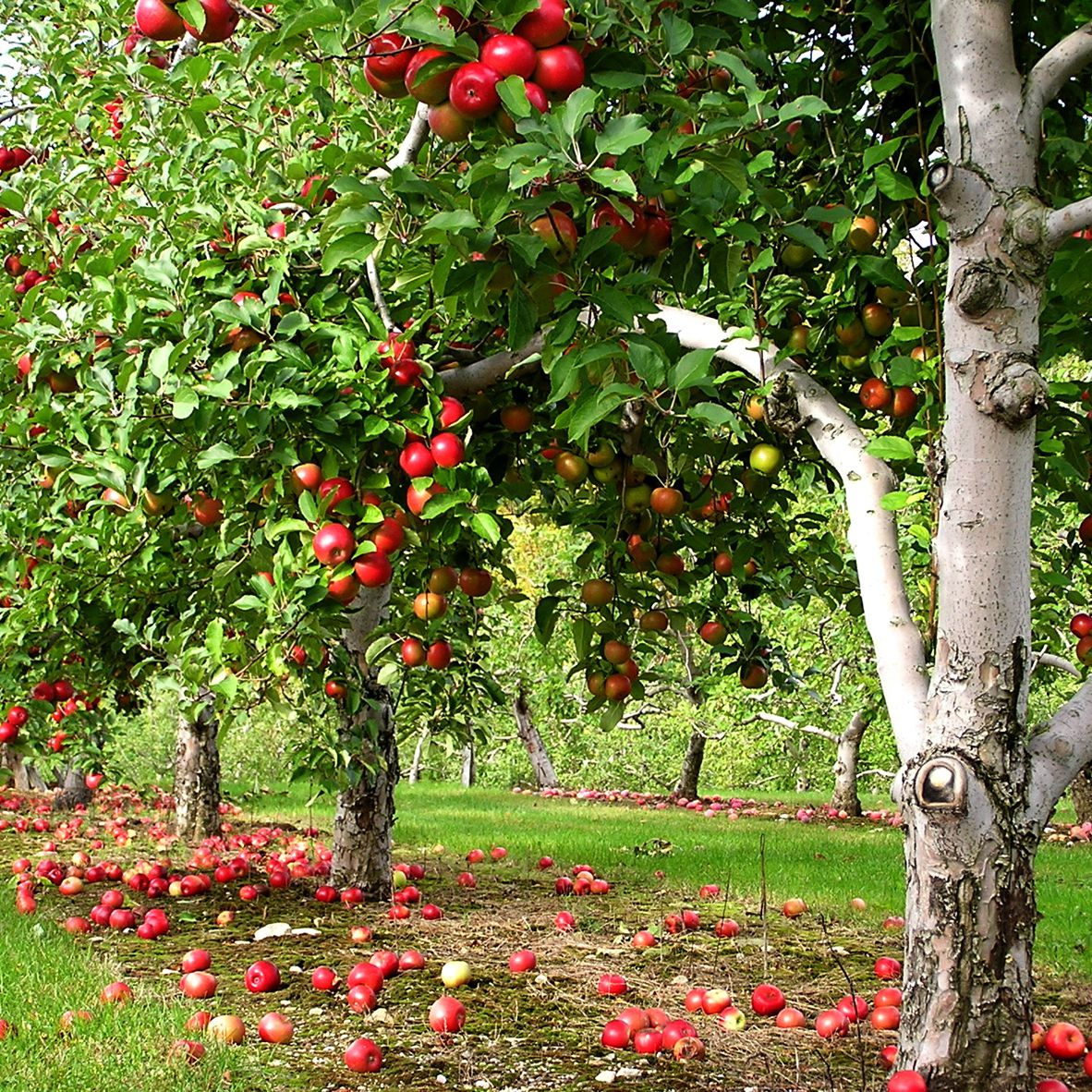 The Top 5 Places to Go Apple Picking Near Boston