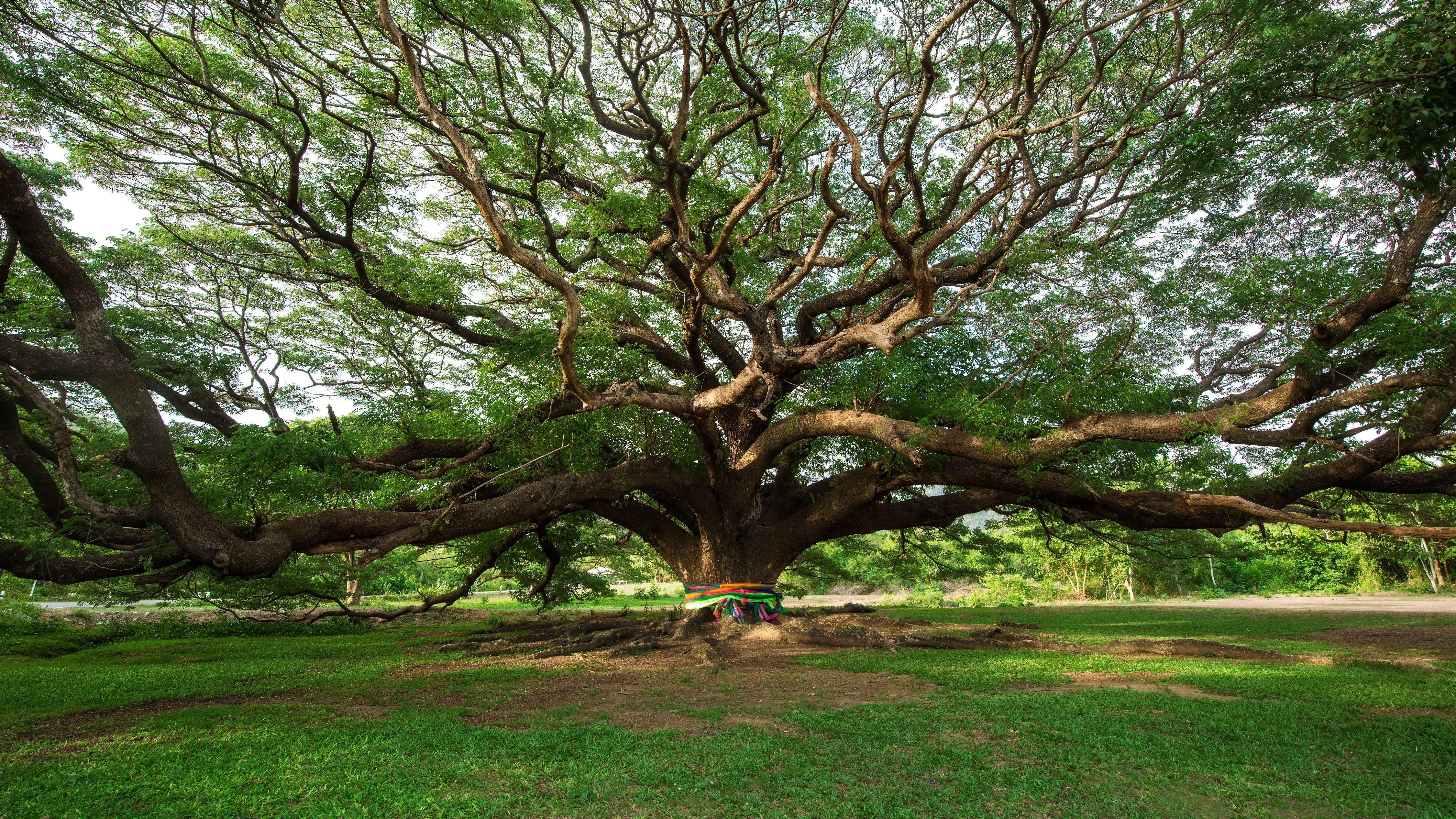 Giant rain tree near Kanchanaburi