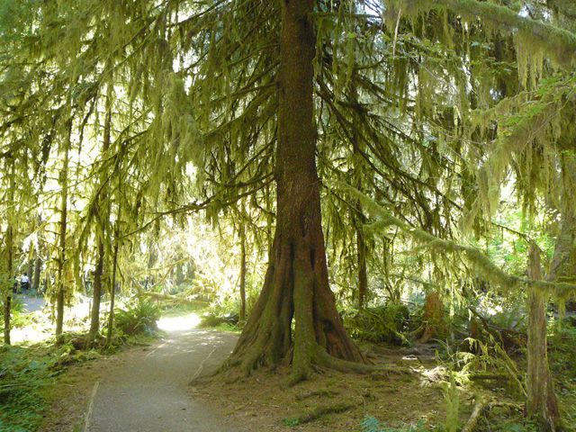 Tree Draped with Moss in the Hoh Rain Forest